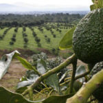 Mexico's top avocado growers seek to boost China sales